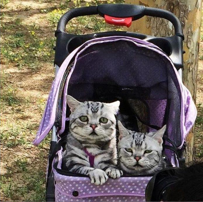 Кошки в коляске