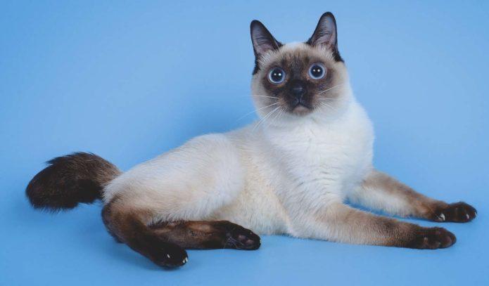 Самая маленькая порода кошек — Тай-боб