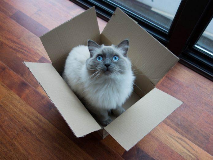 Бирманская кошка в коробке