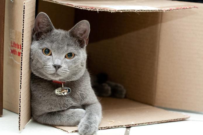 Британская кошка в коробке