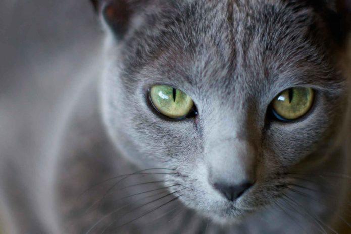 Мордочка кошки породы русская голубая