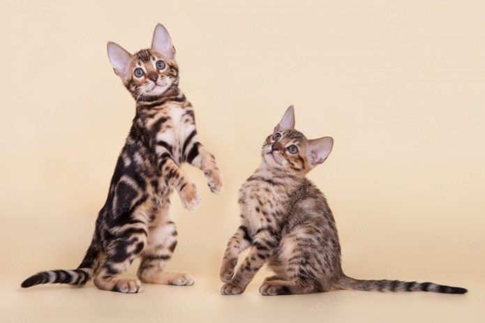 Два котёнка породы серенгети