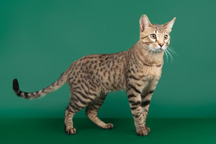 Кошка породы серенгети во весь рост