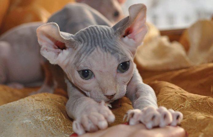 Лысая кошка породы эльф