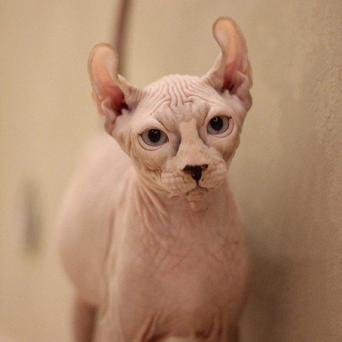 Кошка породы эльф — для аллергиков