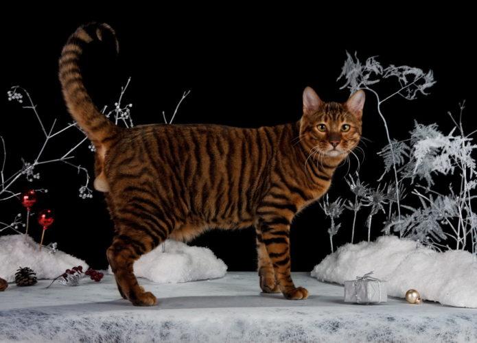 Красивый кот породы тойгер