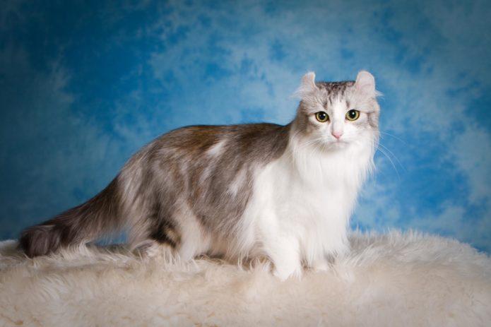 Кошка породы американский кёрл