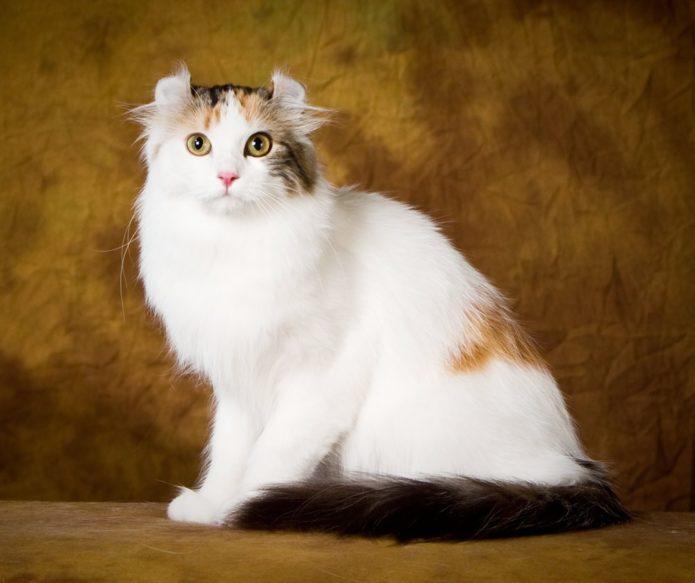 Пушистая кошка породы американский кёрл