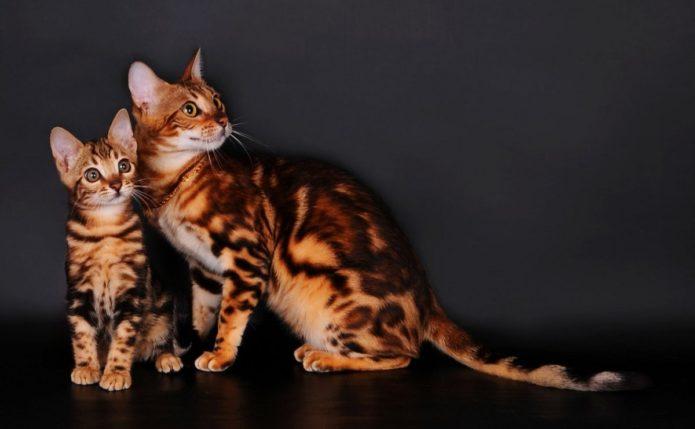 Бенгальская кошка с котёнком