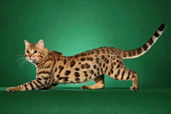 Красивый бенгальский кот