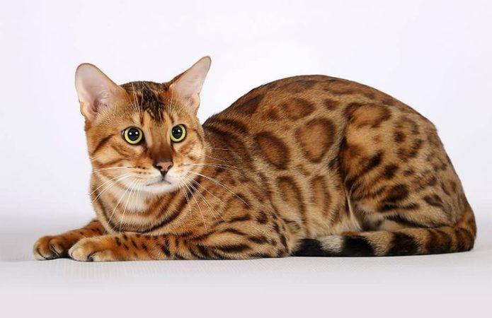 Кошка породы сафари