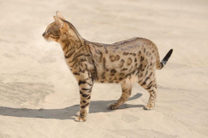 Кошка породы сафари во весь рост