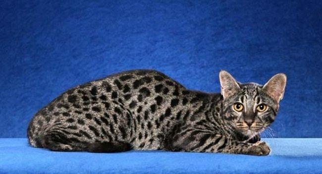 Кошка породы сафари лежит