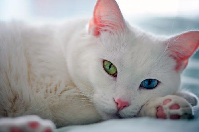 Кошка породы као-мани