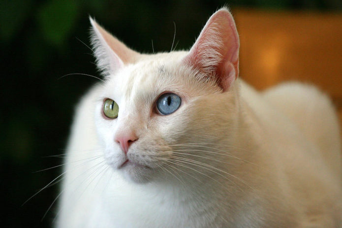 Белая кошка с мистическими глазами