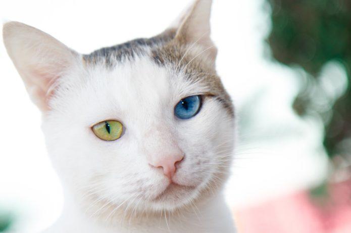Кошка породы као-мани с разноцветными глазами