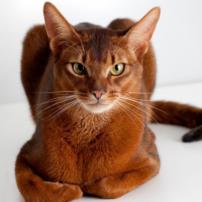 Кошка породы чаузи смотрит прямо на вас