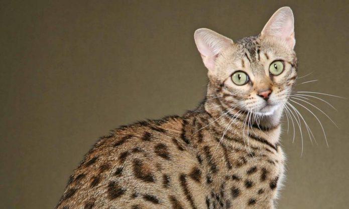 Кошка самой дорогой в мире породы — саванна