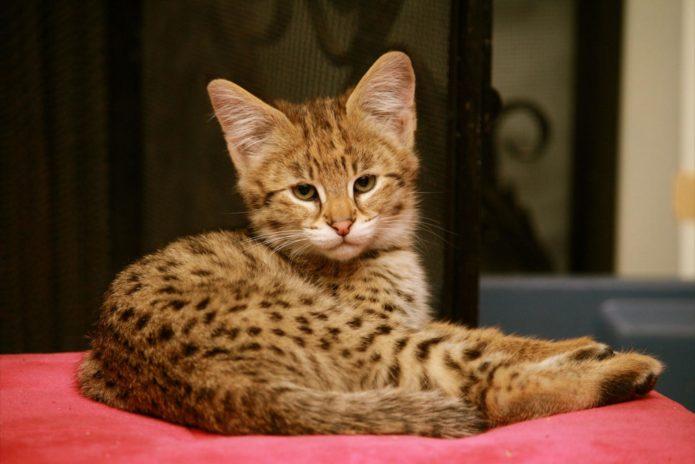 Грациозный котёнок породы саванна