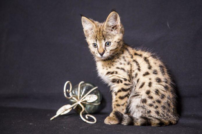 Котёнок породы саванна