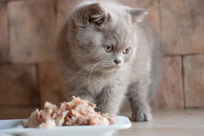 Британская кошка перед миской с едой