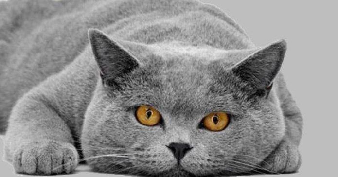 Красивая британская кошка с жёлтыми глазами