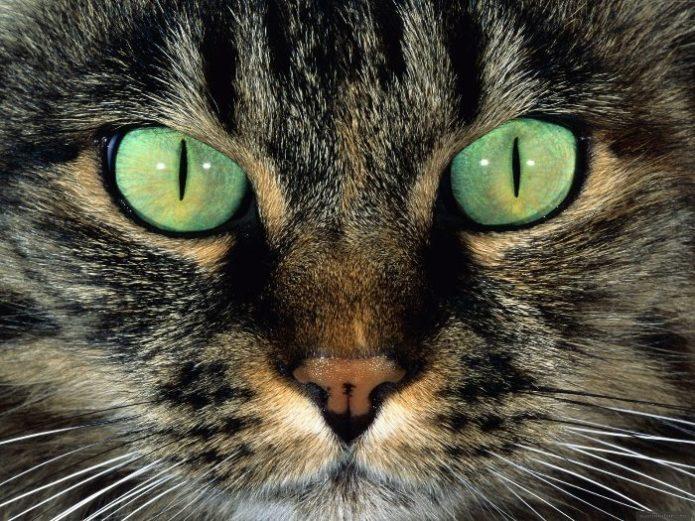 Завораживающий взгляд зелёных кошачьих глаз