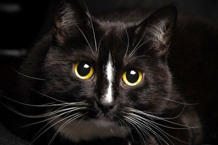 Красивый чёрный кот на чёрном фоне