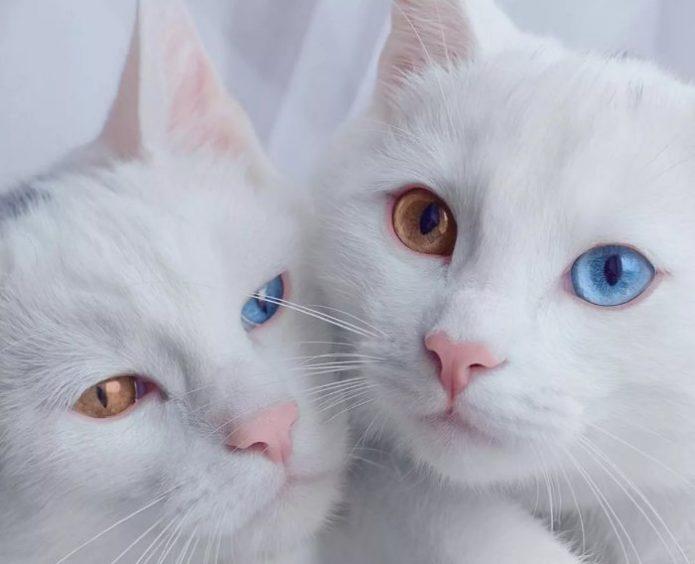 Две очаровательные кошки породы као мани