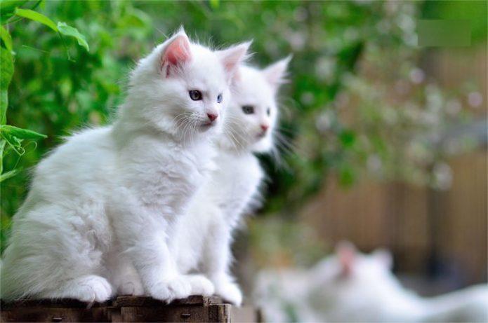 Портрет двух белых пушистых котят