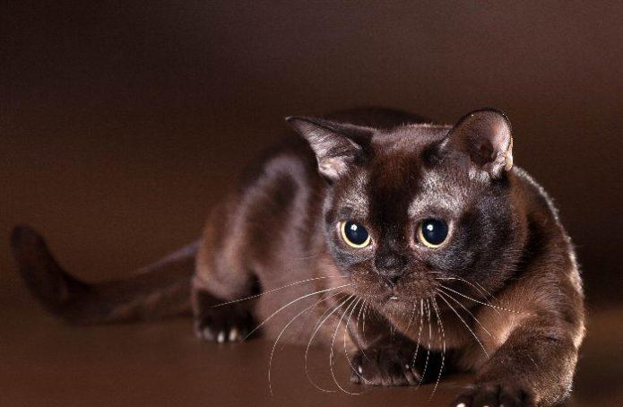 Очаровательный кот шоколадного цвета породы бурма