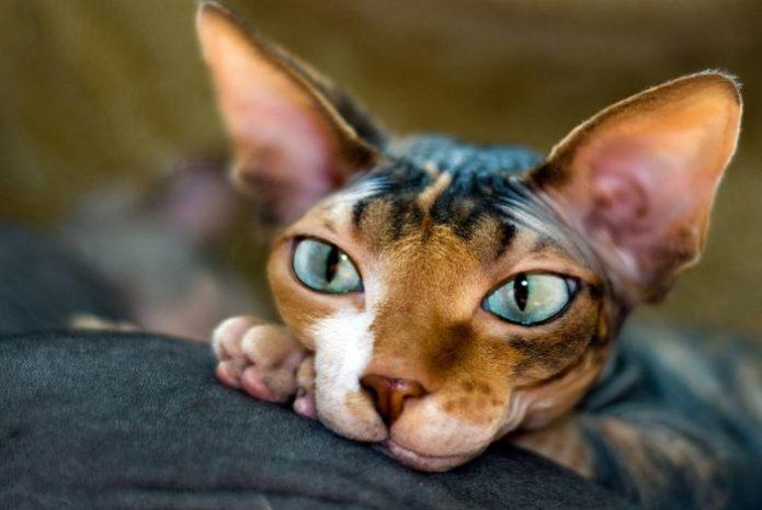Египетская бесшёрстная кошка породы сфинкс