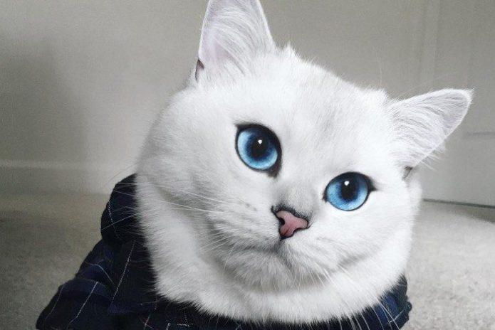 Белая кошка с удивительными голубыми глазами