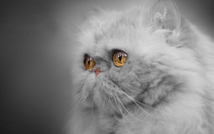 Пушистый кот с глазами цвета янатаря