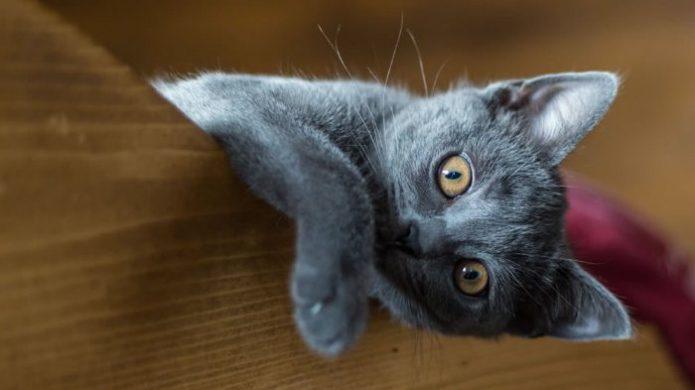 Котёнок породы русская голубая смотрит прямо в камеру