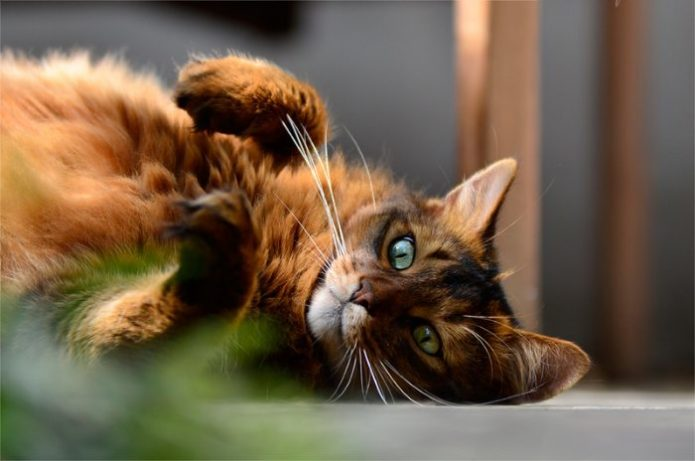 Портерт пушкстого кота