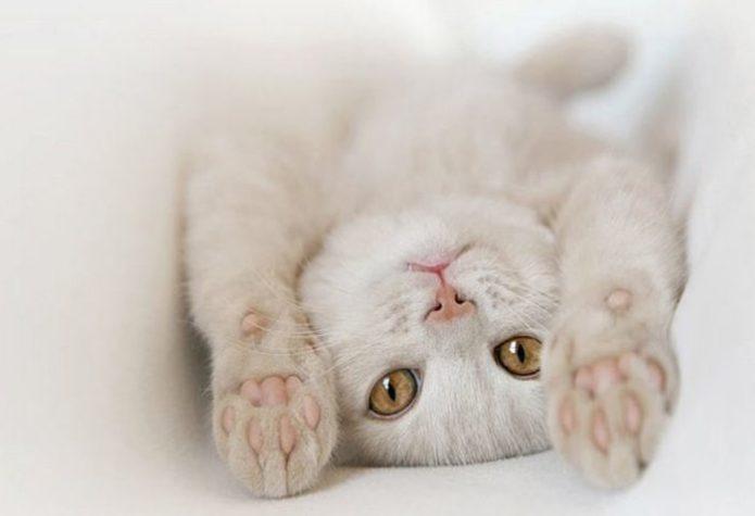 Очаровательный белый котик лежит на спинке вытянув лапы
