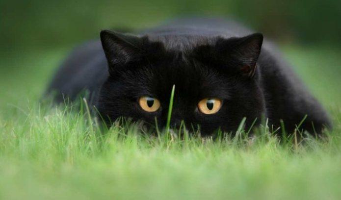 Чёрный кот на зелёной траве