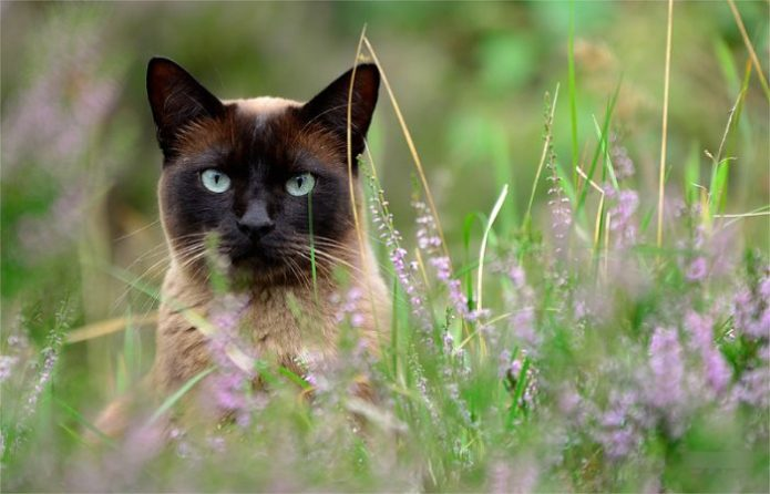 Сиамский кот среди полевых цветов