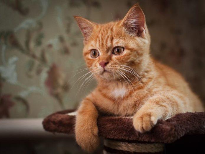 Потрет рыжего котёнка