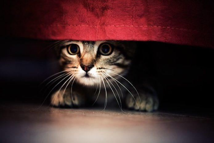 Портерт кота, выглядывающего из-под скатерти