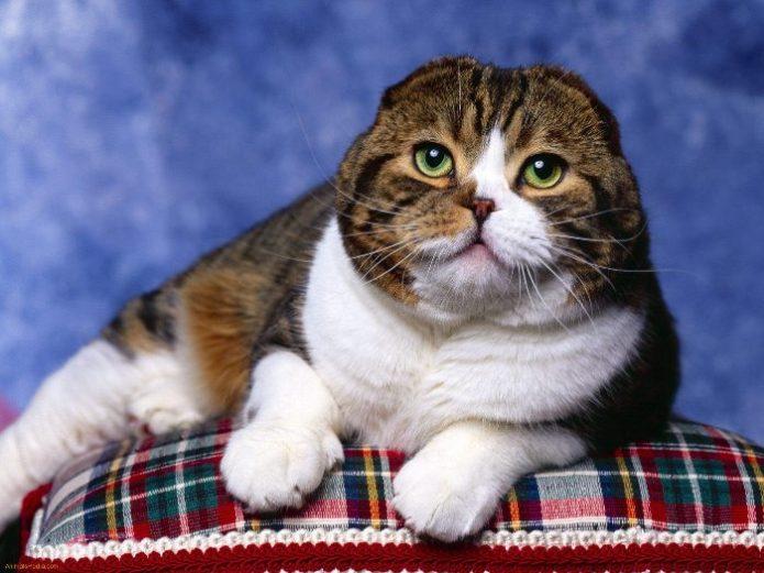 Портрет прекрасного аристократичного кота контрастной расцветки