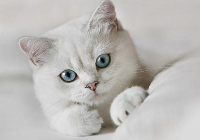 Портрет белой кошки на белом фоне
