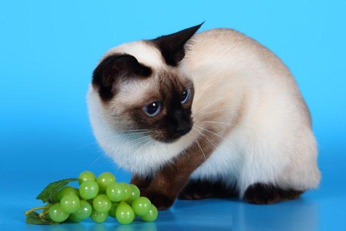 Сиамская кошка и виноград