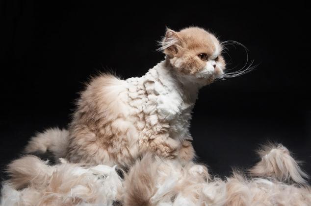 У кошки остригли колтуны