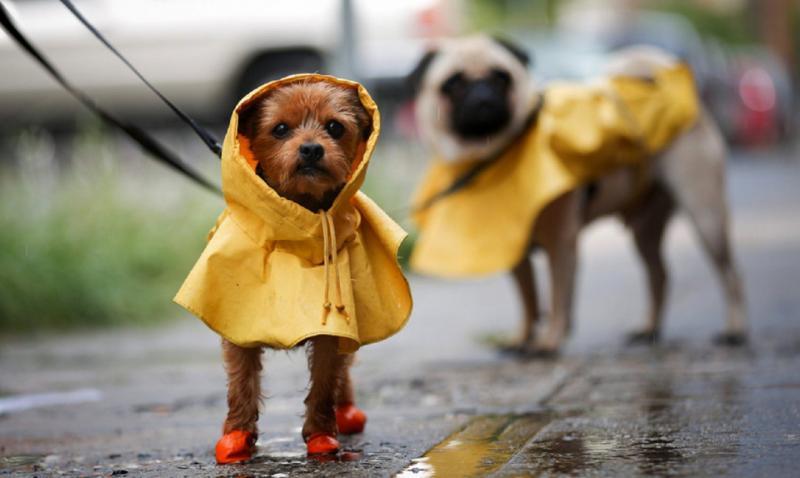 Собаки в дождевиках