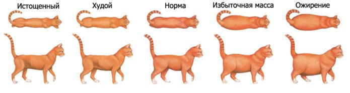 шкала определения полноты кошки