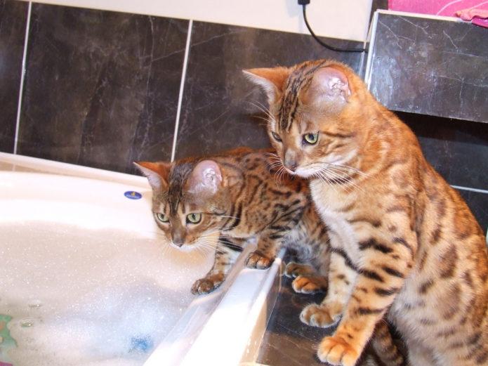 Бенгальские коты в ванной