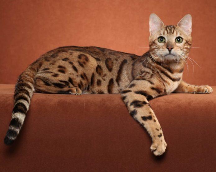 Бенгальская кошка на диване
