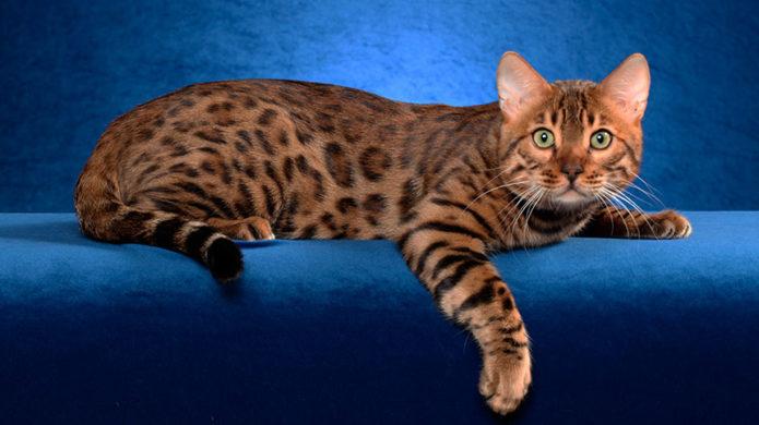 Леопардовая бенгальская кошка